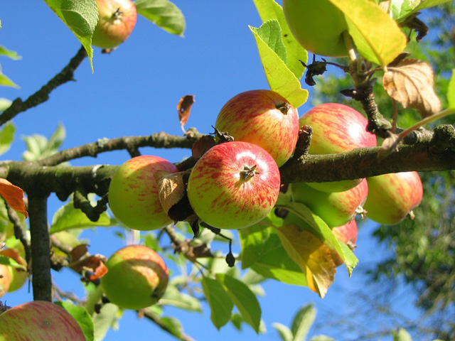 How Railways Made Norfolk Apple Orchards Great