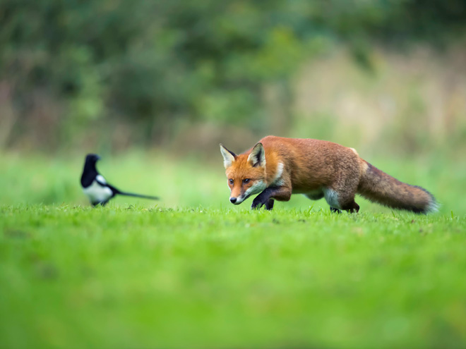 Norfolk -Fox -and -Magpie